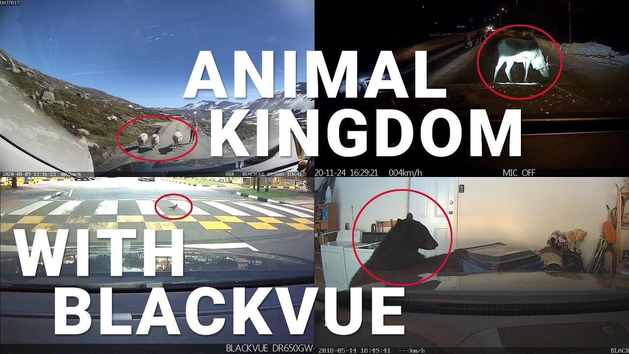 Bear in Garage, Reindeer, Sheep and more… The Animal Kingdom #CaughtOnBlackVue